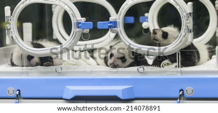 GUANGZHOU, CHINA - AUGUST 28. 2014.:A newborn giant panda triplets which were born to giant panda Juxiao (not pictured), is seen inside an incubator at the Chimelong Safari Park. - stock photo