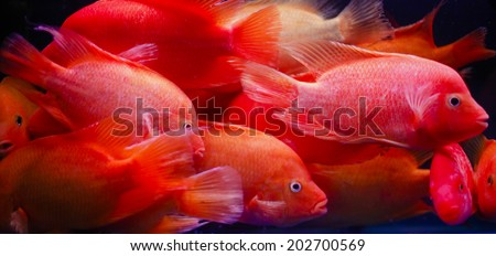 GUANGZHOU, CHINA - JUNE 24.:Fishes for aquariums swimming in tank on Yihe Market in China. Yihe Market is one of the biggest wholesale and retail markets for fish, bird and stone products in China. - stock photo