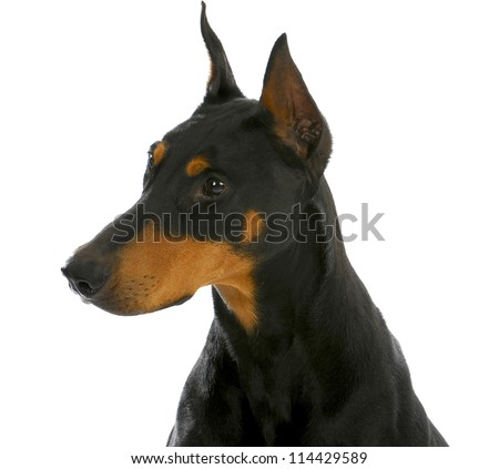 guard dog - doberman pinscher head profile isolated on white background - stock photo