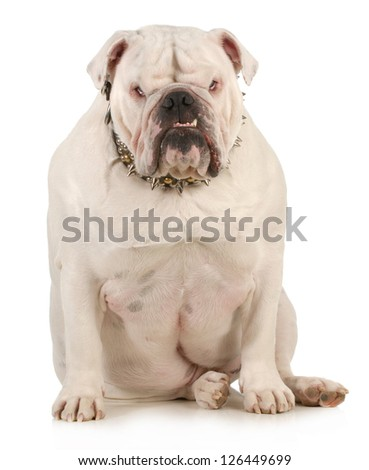 guard dog - english bulldog wearing spiked collar with intimidating expression on white background - stock photo