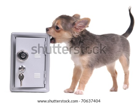 Guard dog of chihuahua breed trying to open metal safe, isolated on white background