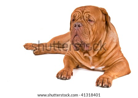 Guard Dog of Dogue De Bordeaux Breed on Duty, isolated on White - stock photo