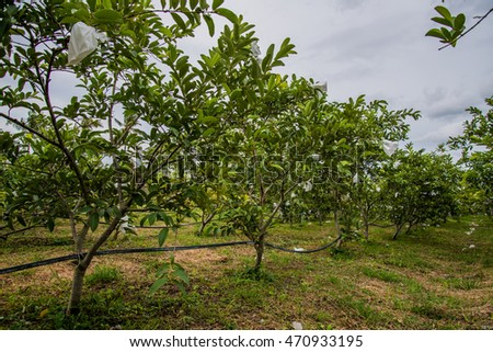 Guava field,Agriculture background