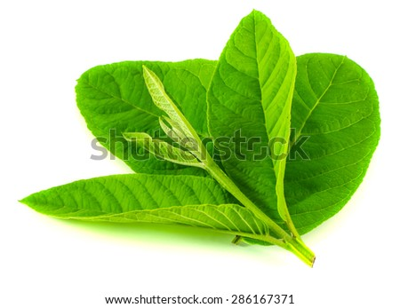 Guava leaves isolated on white background.