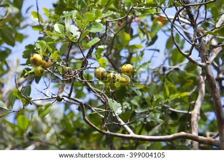 Guava on the tree, Mauritius - stock photo