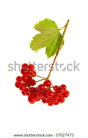 guelder-rose on a white background