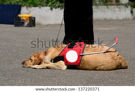 Guide dog resting on the asphalt - stock photo
