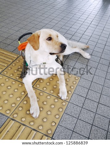 Guide dog sits on guide brick - stock photo