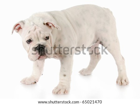 guilty looking bulldog puppy standing with reflection on white background