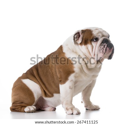 guilty looking dog - bulldog with sad expression sitting on white background - stock photo