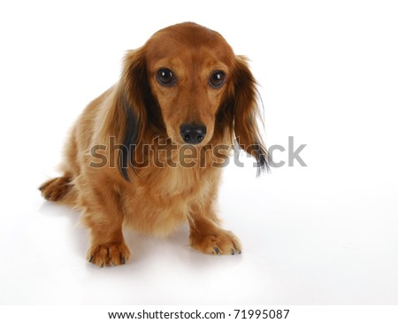 guilty looking dog - long haired miniature dachshund on white background - stock photo