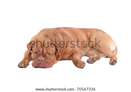 Guilty looking dogue de bordeaux puppy, isolated on white background - stock photo
