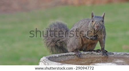 Guilty looking squirrel on bird bath after stealing bird seed
