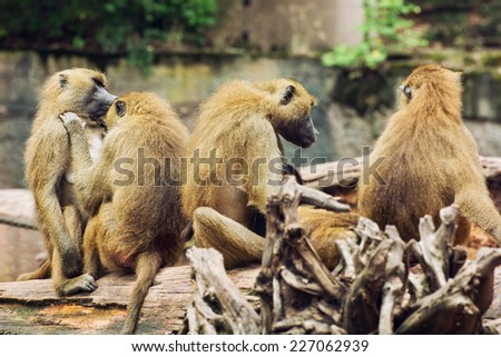 Guinea baboon family (Papio papio). Animal theme. - stock photo