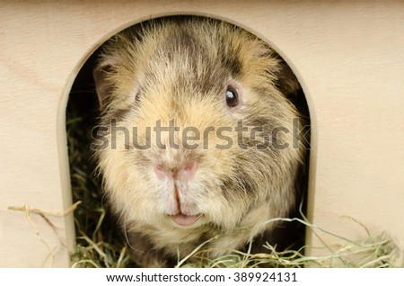 guinea in the hut (US-Teddy guinea pig) - stock photo