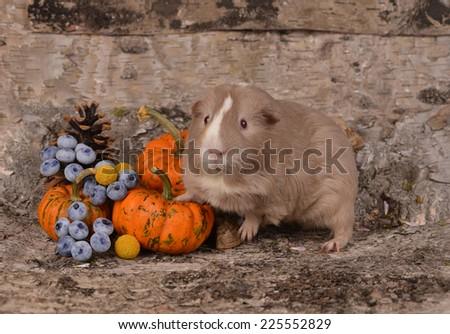 Guinea pig - stock photo