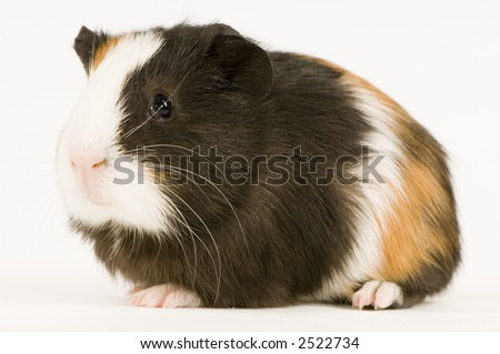 guinea pig against a white background