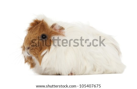 Guinea pig against white background - stock photo