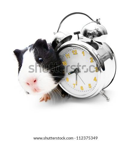 Guinea pig and an alarm clock - stock photo
