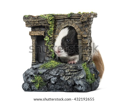 Guinea pig, cavia porcellus, behind a castle, isolated on white - stock photo