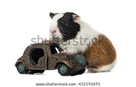 Guinea pig, cavia porcellus, climbing on a car, isolated on white - stock photo