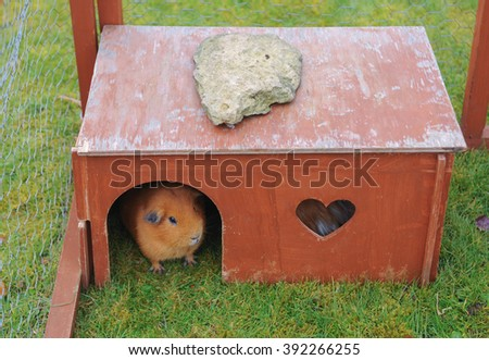 Guinea Pig (Cavia porcellus) in its Shelter in a cage on a Farm in Milcote next to the River Avon near to Stratford upon Avon in Warwickshire, England, UK - stock photo