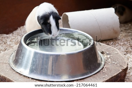 Guinea pig drinking water - stock photo