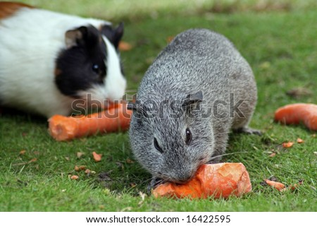 Guinea pig eating a carrot - stock photo