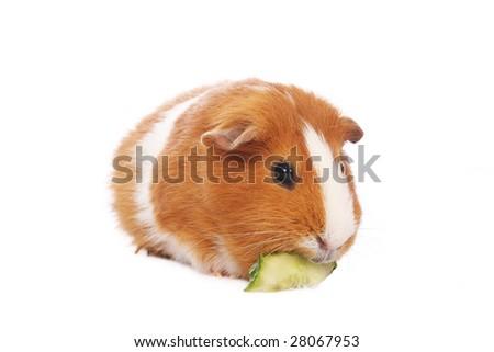 Guinea pig eating cucumber on white background - stock photo