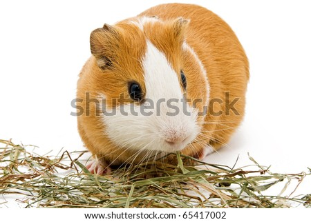guinea pig eating hay on the white background - stock photo