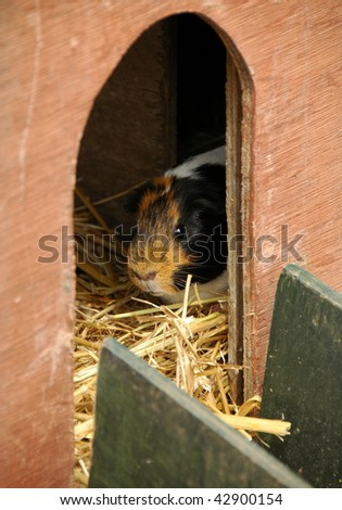 Guinea pig emerging from hutch - stock photo