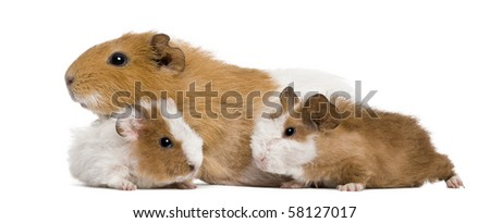 Guinea pig family in front of white background - stock photo