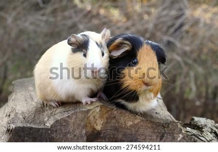 Guinea pig friends - stock photo