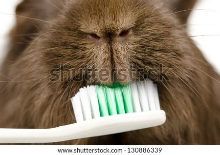 guinea pig gnaws toothbrush - stock photo