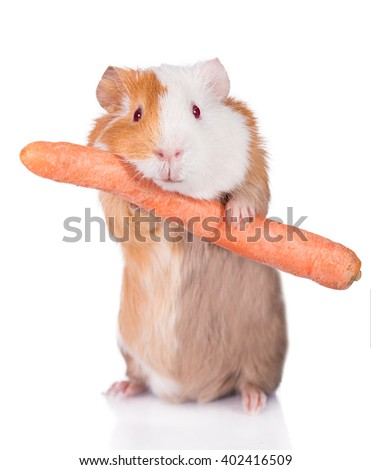 Guinea pig holding a carrot isolated on white background  - stock photo
