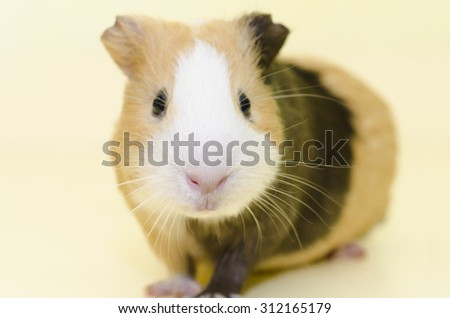 Guinea Pig House animal on yellow background - stock photo