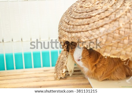 Guinea pig in a hideout - stock photo