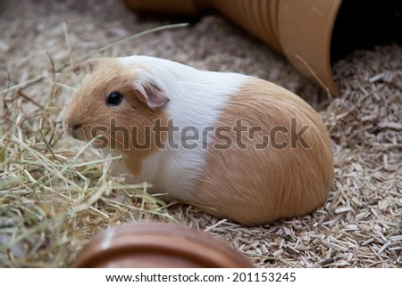 Guinea pig in a pen - stock photo