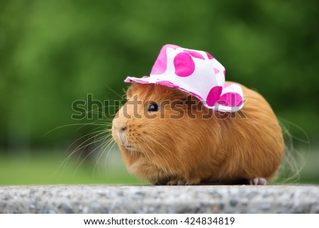 guinea pig in a summer hat outdoors