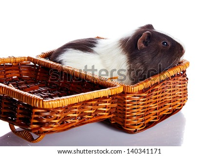 Guinea pig in a wattled basket. House rodent. Small pet. - stock photo
