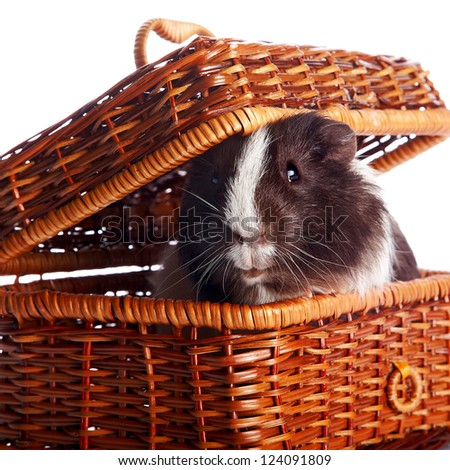 Guinea pig in a wattled basket on a white background - stock photo