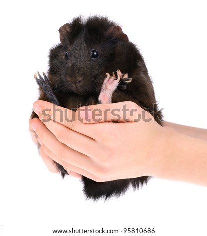 Guinea Pig in Hand - stock photo