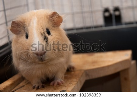 Guinea-pig in its cage - stock photo