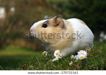 Guinea pig in spring - stock photo