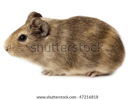 Guinea pig in studio against a white background. - stock photo