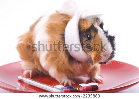 guinea-pig  is  ill
