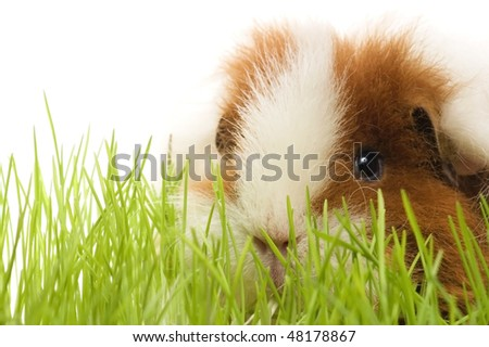 guinea pig isolated on the white background