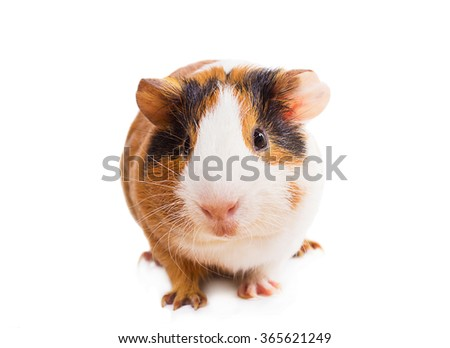 Guinea pig isolated on white background closeup