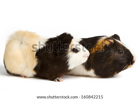 Guinea pig little pet rodent. guinea pig isolated on white background - stock photo