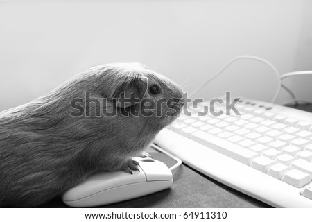 Guinea pig on a computer mouse looking at the screen. Fun black and white image - stock photo